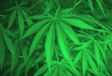 (Photo Courtesy of National Institute on Drug Abuse) Marijuana plants growing in a lab.