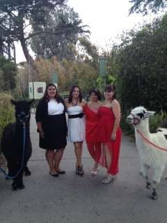 (Photo Courtesy of Dulce Romero) Seniors Dulce Romero, Katie Shear, Toni Calderon, and Joann Bove pose with the alpacas at the San Francisco Zoo venue.