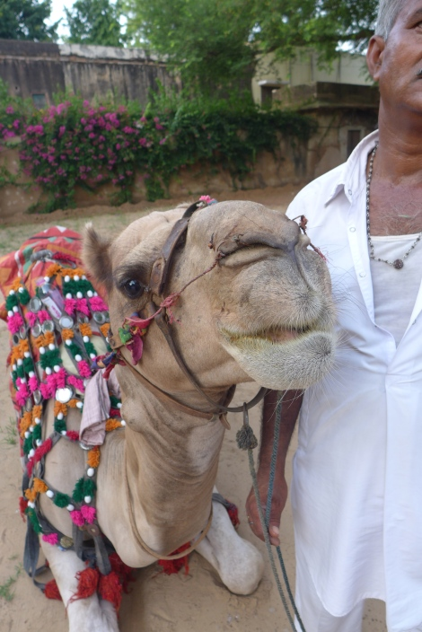 (Photo courtesy of Maddie Oaks) The camel I rode in Rajasthan.