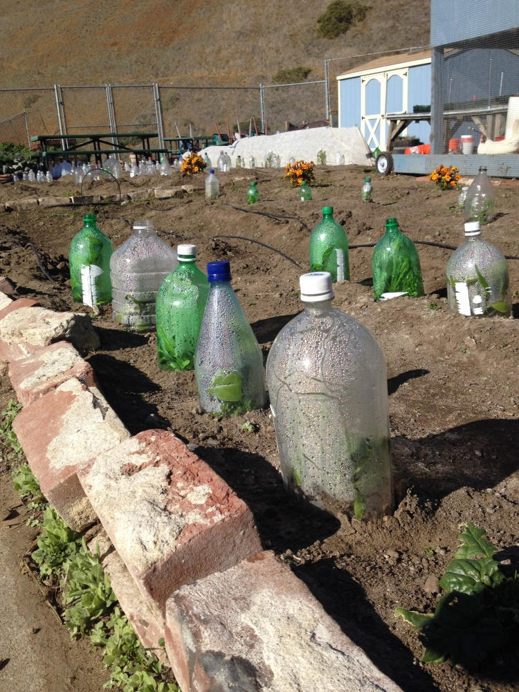 Photo courtesy of Bridget Pocasangre  Bottles that were collected from the advisory contest last month and are used as greenhouses